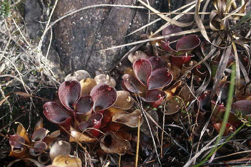 Гелиамфора пулчелла Helianphora pulchella фото
