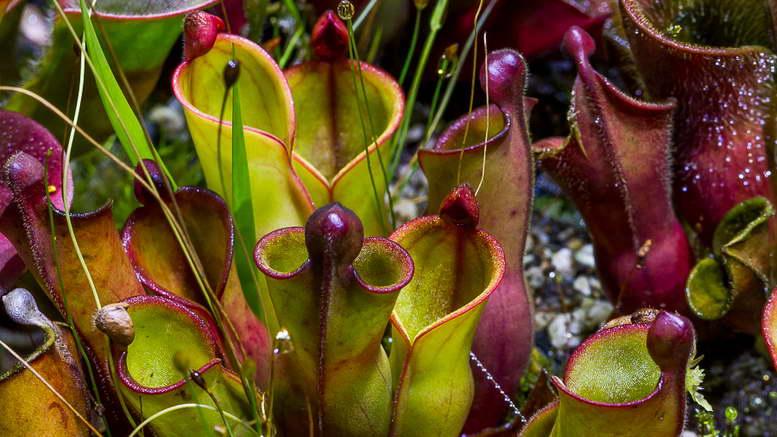 Гелиамфора выращивание из семян в домашних условиях