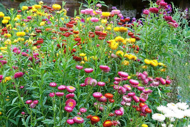 Гелихризум прицветниковый или садовый бессмертник фото цветов