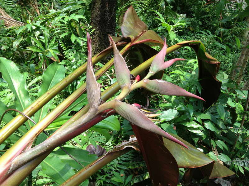 Геликония индийская Heliconia indica фото