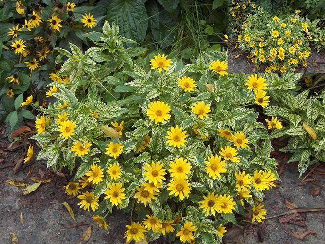 Гелиопсис пестролистный лорейн саншайн lorain sunshine посадка и уход Фото цветов в саду