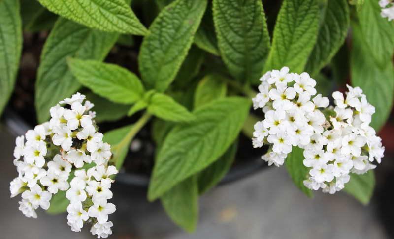 Гелиотроп сорт Вайт леди Heliotropium arborescens 'White Lady' фото