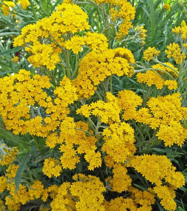Гелиптерум Гумбольда Helipterum humboldtiana фото цветов