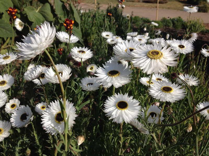 Гелиптерум белый сорт Helipterum roseum 'Pierrot' фото