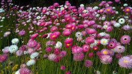 Гелиптерум посадка и уход фото цветов