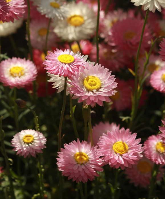 Гелиптерум розовый Helipterum roseum syn. Rhodanthe chlorocephala фото