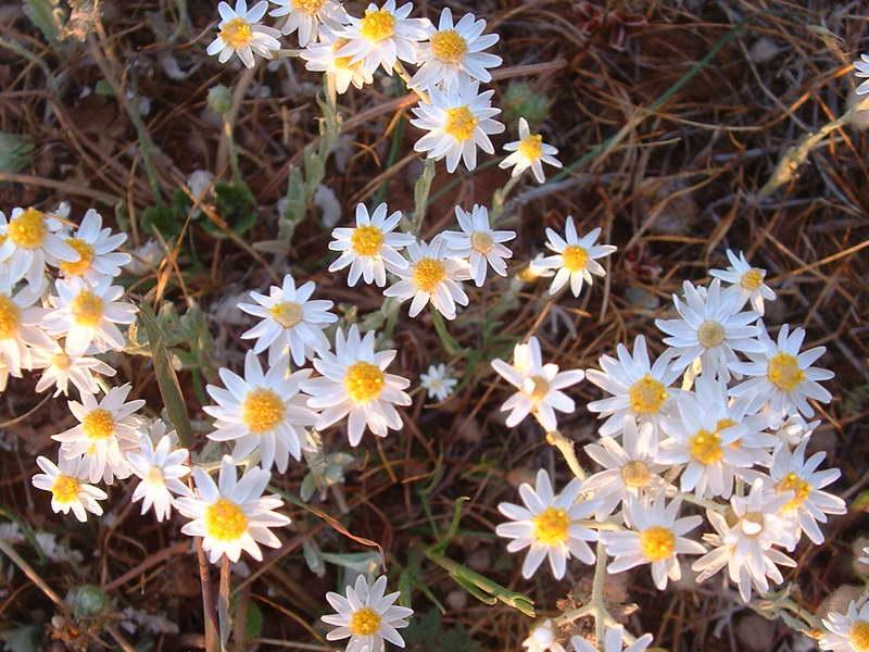 Гелиптерум щиткоцветковый Helipterum corymbiflorum фото