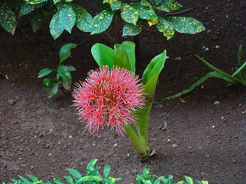 Гемантус Линдена Haemanthus lindenii фото цветов