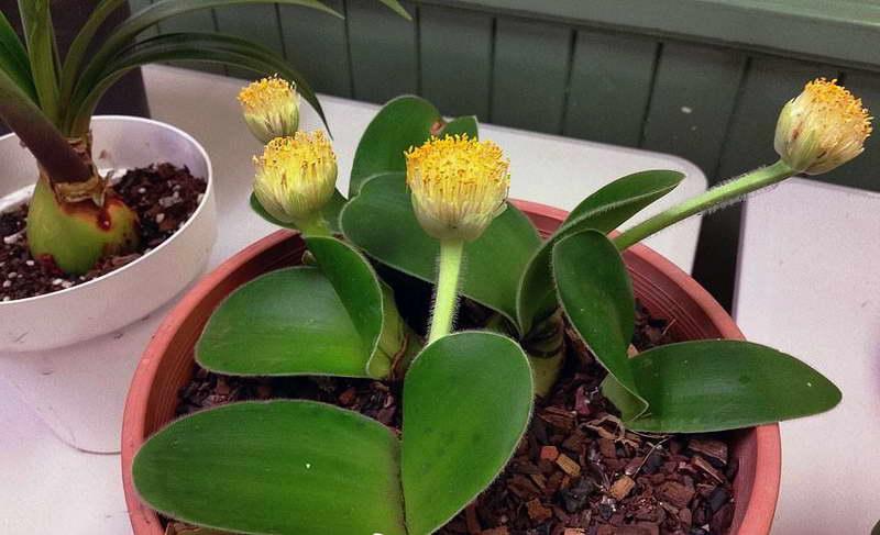Гемантус белоцветковый комнатные растения фото
