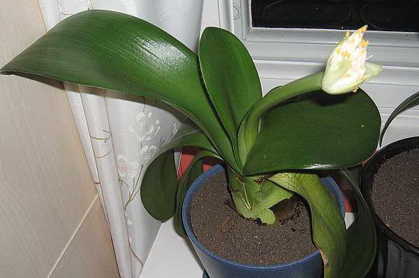 Гемантус белоцветковый уход в домашних условиях фото