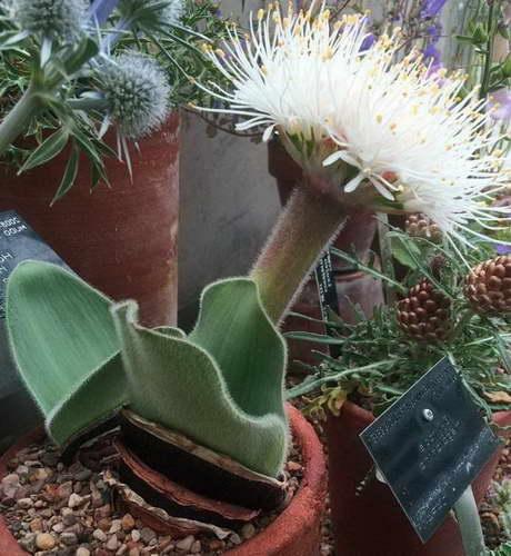 Гемантус чисто белый Haemanthus candidus фото Как ухаживать