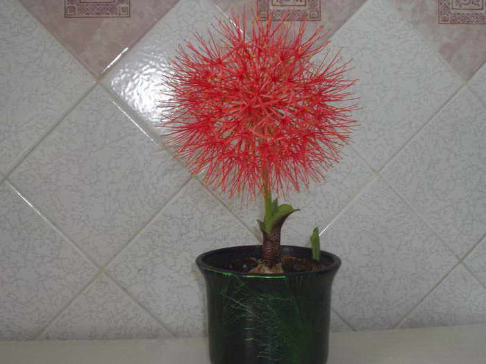 Гемантус катарина уход в домашних условиях фото