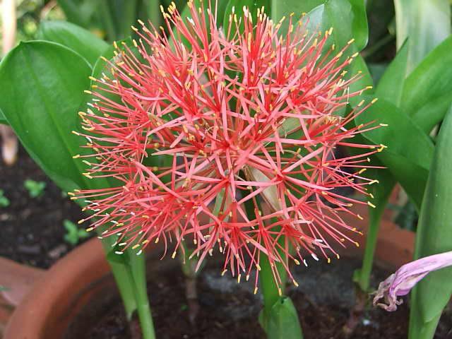 Гемантус многоцветковый или скадоксус Катарины фото