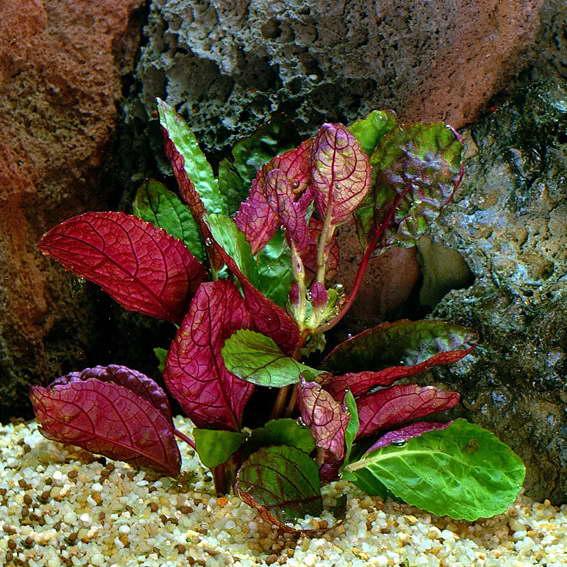 Гемиграфис цветной Hemigraphis colorata может выращиваться как комнатное и как аквариумное растение фото