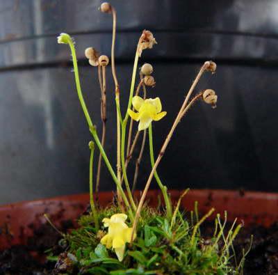 Генлисея карликовая Genlisea pygmaea фото