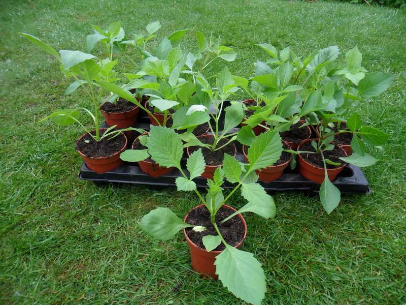 Георгины из семян Как посадить георгины на рассаду фото