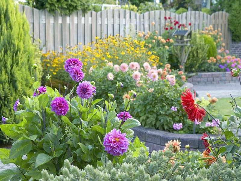 Георгины в саду фото Применение в ландшафтном дизайне