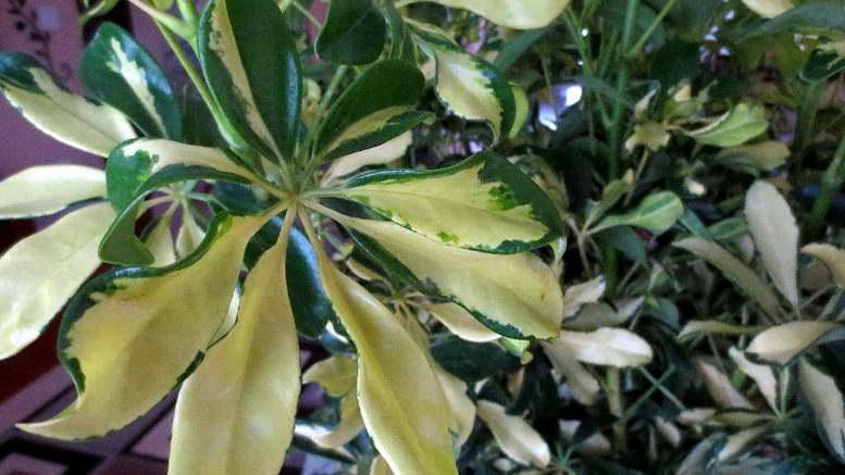 Гептаплеурум древовидный комнатные растения выращивание и уход