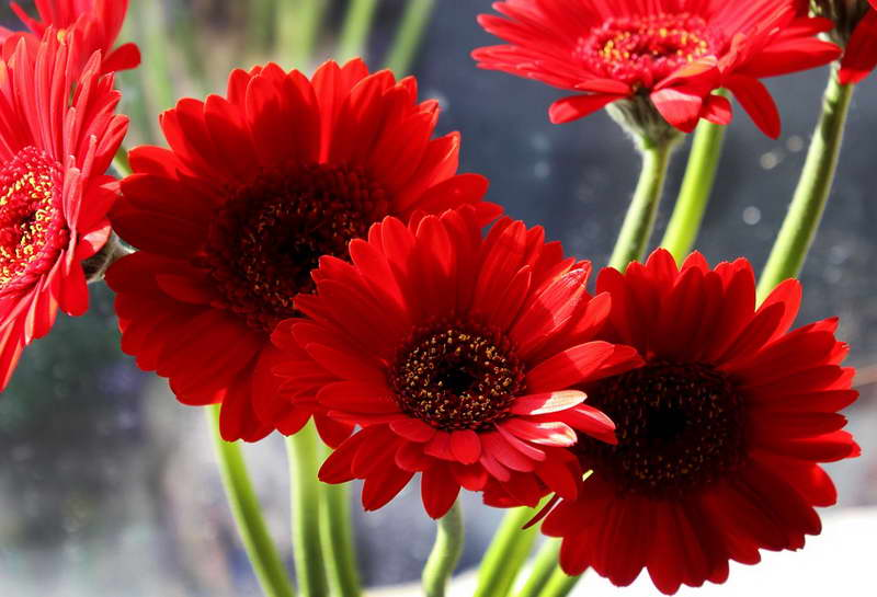 Гербера мини литл руби Gerbera mini Little Ruby фото