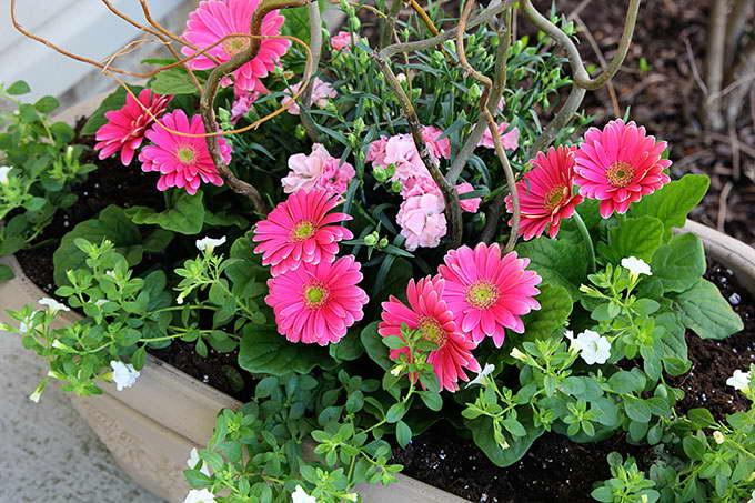 Гербера садовая многолетняя фото цветов
