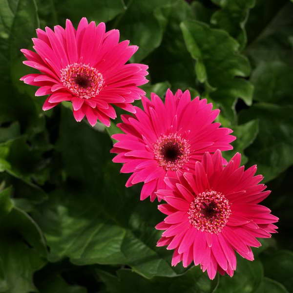 Гербера сорт Gerbera 'Sweet Dreams' фото цветов