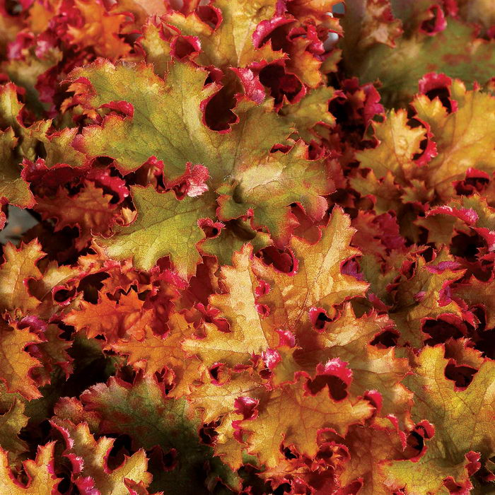Гейхера Зиппер Heuchera 'Zipper' фото