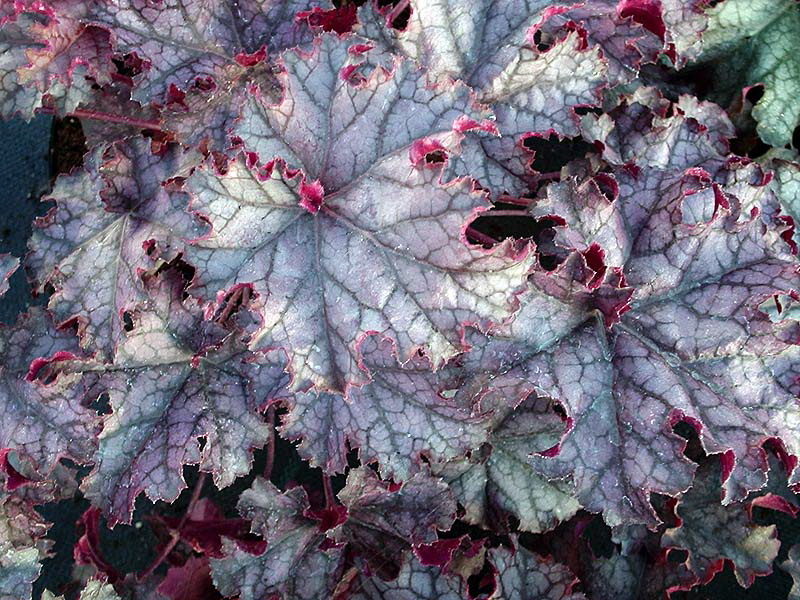 Гейхера гибридная Каскад даун heuchera hybrida cascade dawn фото