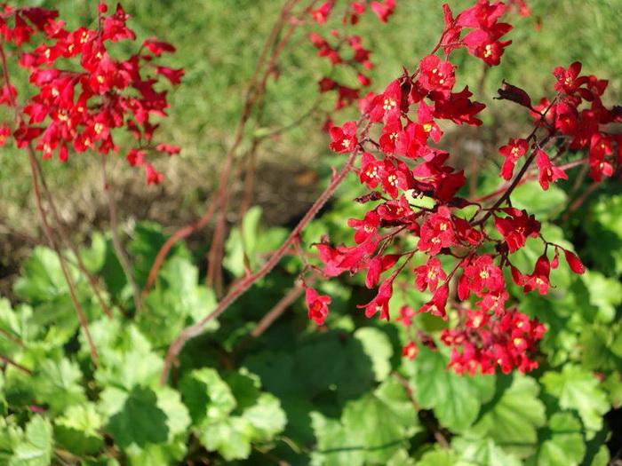 Гейхера кроваво-красная Heuchera sanguinea фото
