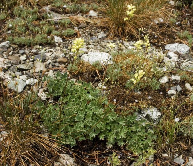 Гейхера крыжовниковолистная Heuchera grossulariifolia фото