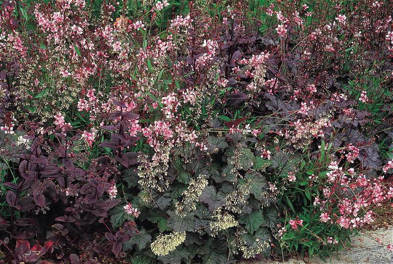 Гейхера мелкоцветковая Heuchera micrantha фото в саду