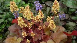Гейхера сорта и виды фото с названием как выращивать гейхеру