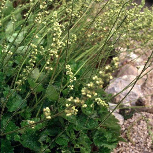 Гейхера цилиндрическая сорт Гринфинч Heuchera cylindrica Green finch фото