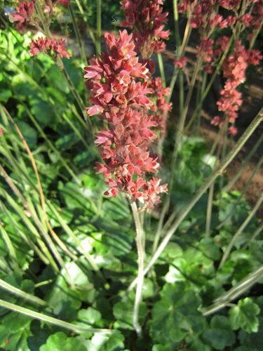 Гейхера цилиндрическая сорт Хайперион Heuchera cylindrica Hyperion фото