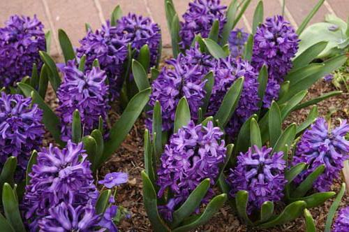 Гиацинт Литвинова Hyacinthus litwinowii домашний цветок уход