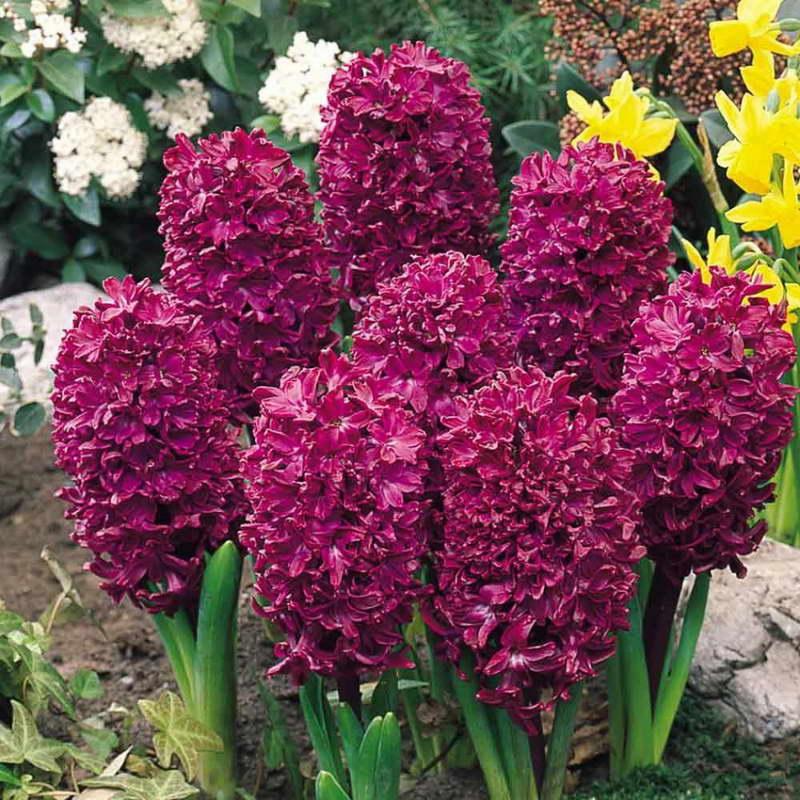 Гиацинт красно фиолетовый Woodstock Гиацинты выращивание дома