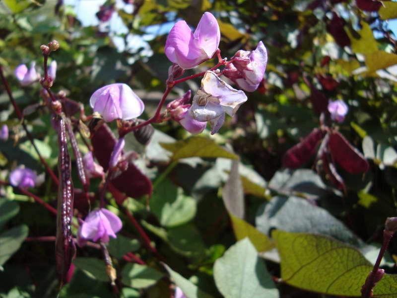 Гиацинтовые бобы долихос фиолетовые гирлянды фото