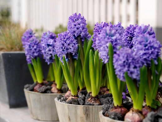 Гиацинты фото когда высаживать в домашних условиях Hyacinthus orientalis 'Delft Blue' фото