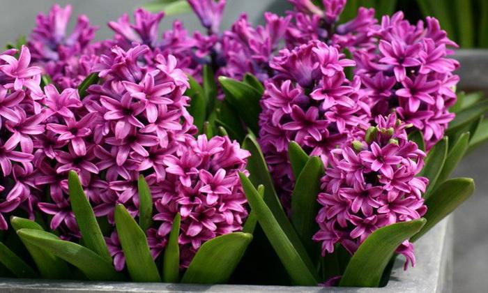 Гиацинты посадка и уход в домашних условиях Выгонка и уход после цветения