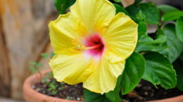 Гибискус цветок уход в домашних условиях фото