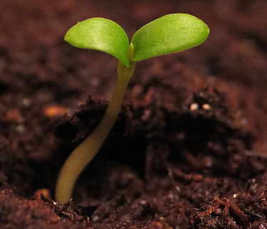 Гилления из семян фото всходов