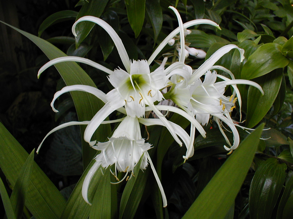 Гименокаллис фесталис Hymenocallis festalis фото выращивание и уход