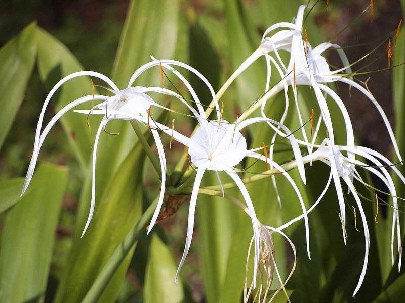 Гименокаллис карибский Hymenocallis caribaea фото выращивание и уход