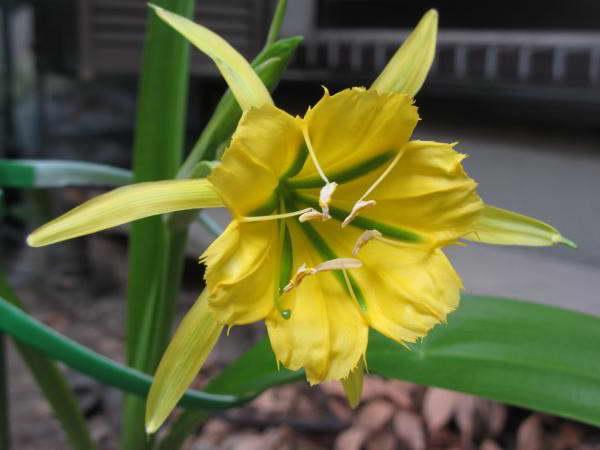 именокаллис нарциссовый Hymenocallis amancaes фото выращивание и уход