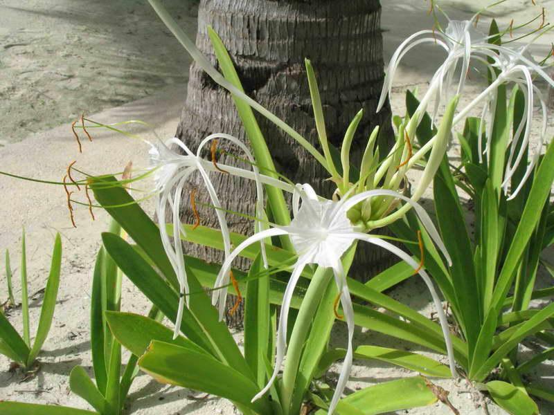 Гименокаллис прибрежный Hymenocallis littoralis фото выращивание и уход