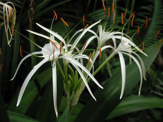 Гименокаллис широколистный Himenocallis latifolia фото