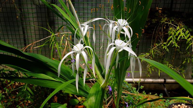 Гименокаллис тубифлора Hymenocallis tubiflora фото Выращивание и уход