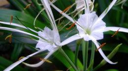 Гименокаллис уход в домашних условиях фото цветов