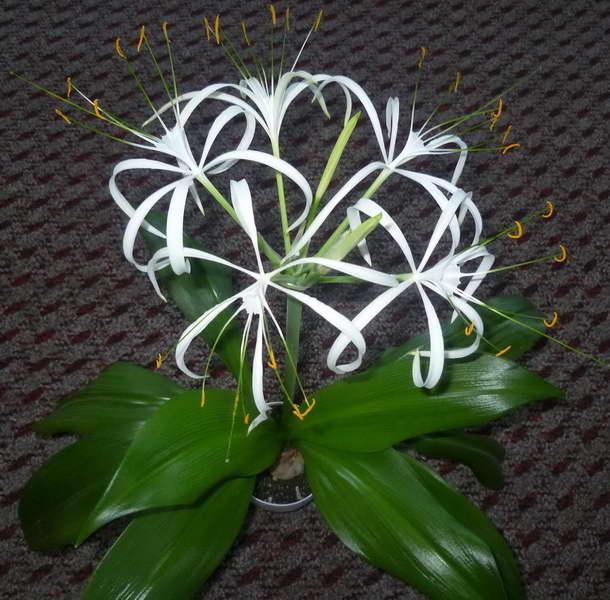 Гименокаллис в домашних условиях как ухаживать фото цветения