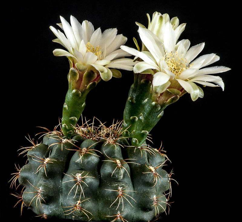 Гимнокалициум мелкоцветный Gymnocalycium leptanthum фото