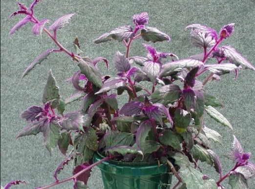Гинура плетеносная Gynura sarmentosa фото
